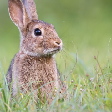Rabbit, rabbit…