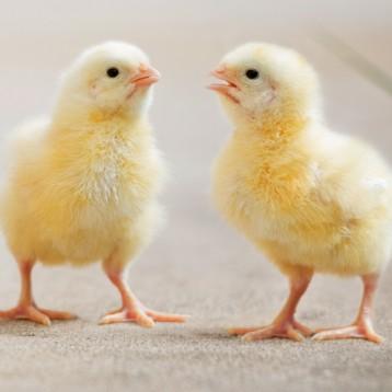 Hey, little hen…